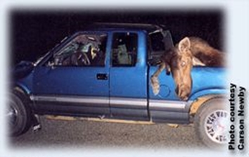 Moose in pickup